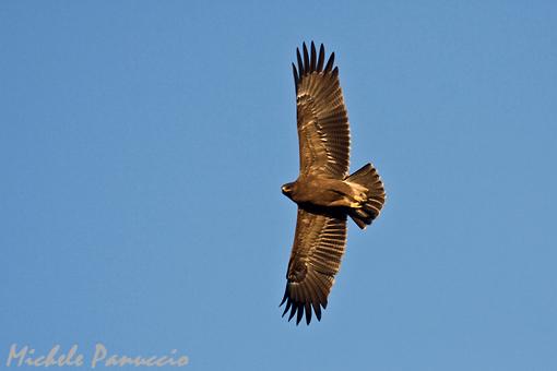 Lesser-spotted_Eagle_juv
